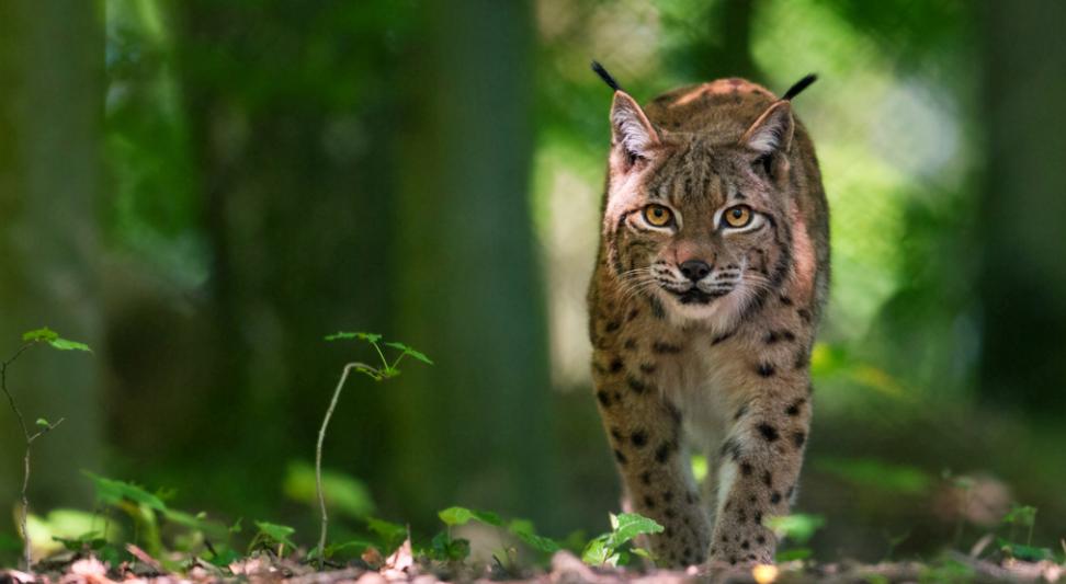 Lynx | www.grotte-de-han.be
