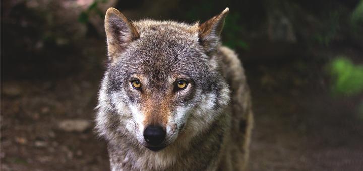 Loup, entre fascination et inquiétude