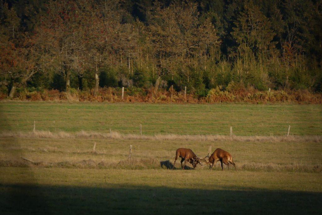 Combat de cerfs en Ardenne