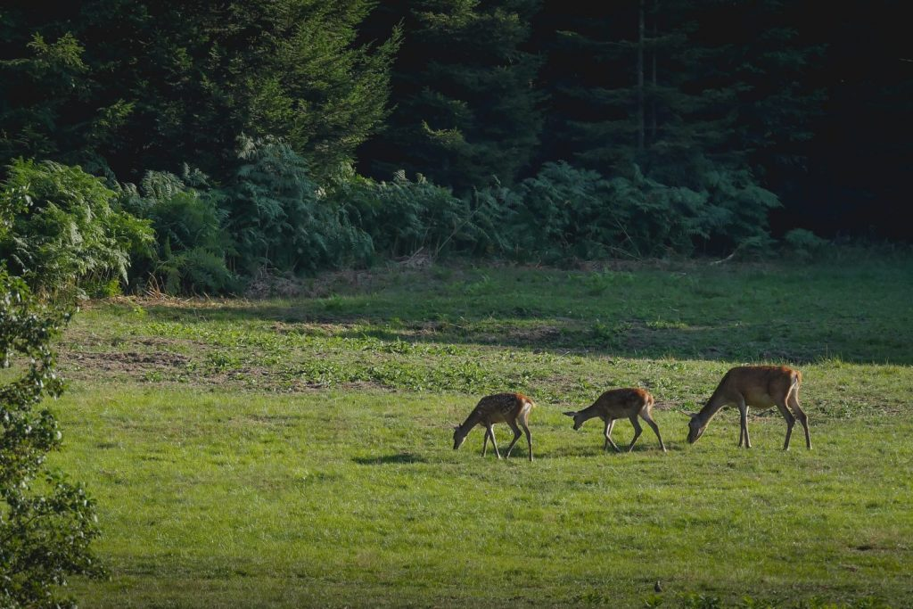 brame du cerf en Ardenne